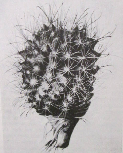 Ancistrocactus pic